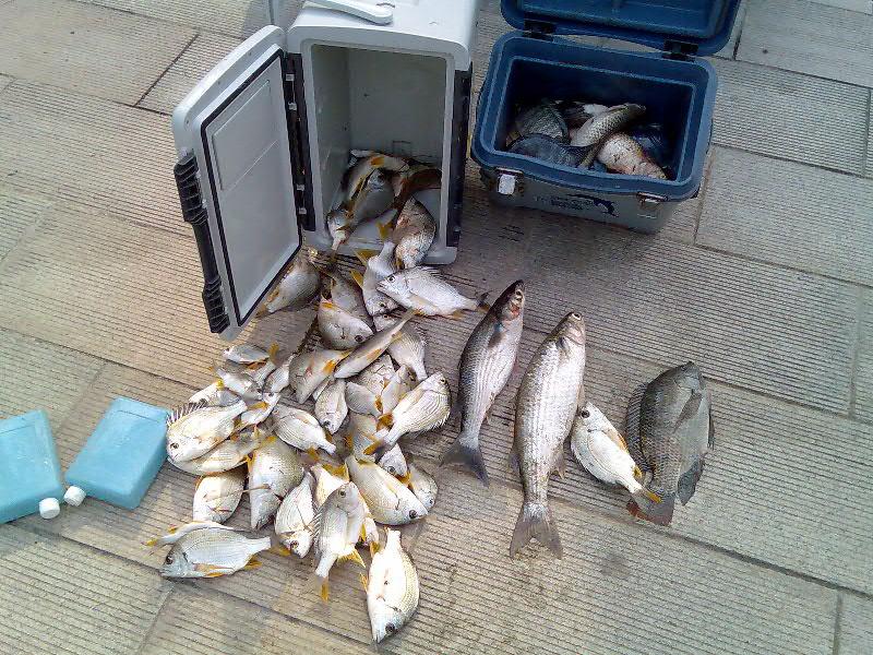 黄脚立鱼图片_