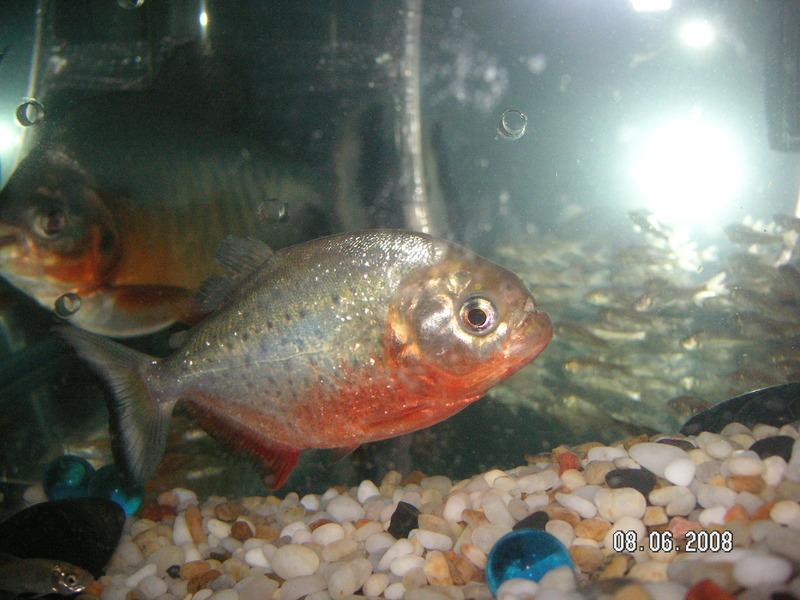 red+belly+pacu